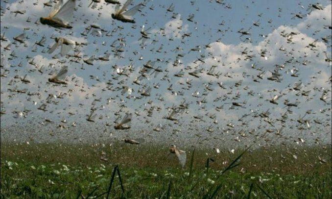 Buscan evitar la peor plaga de langostas en 50 años