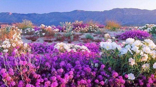 Las flores del desierto brotan en California tras años de espera