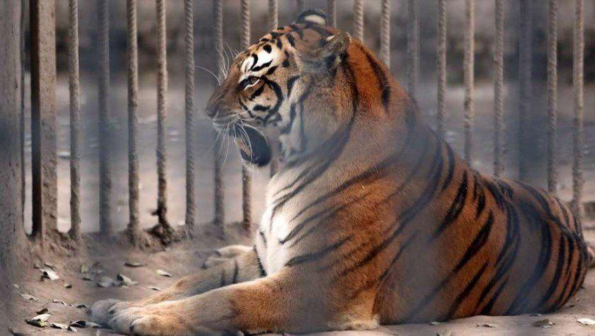 Trasladarán a Estados Unidos a los dos tigres y tres leones del zoo de Santiago del Estero