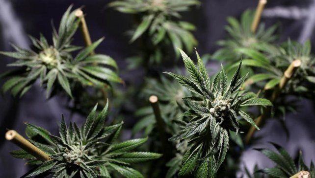 Una universidad colombiana inaugura un curso para aprender a cultivar marihuana