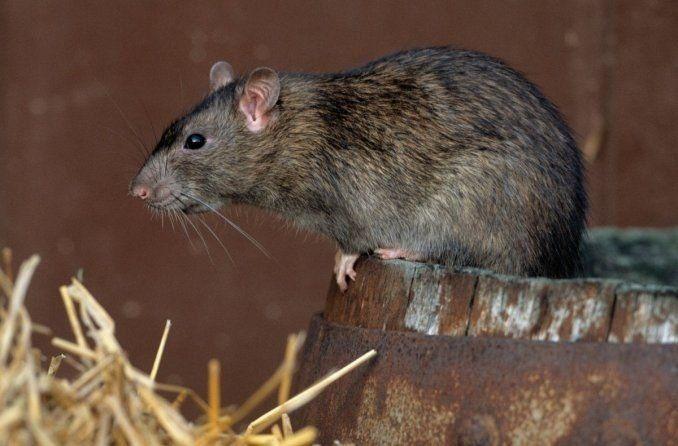 Tras las elecciones, una escuela suspendió las clases por presencia de ratas