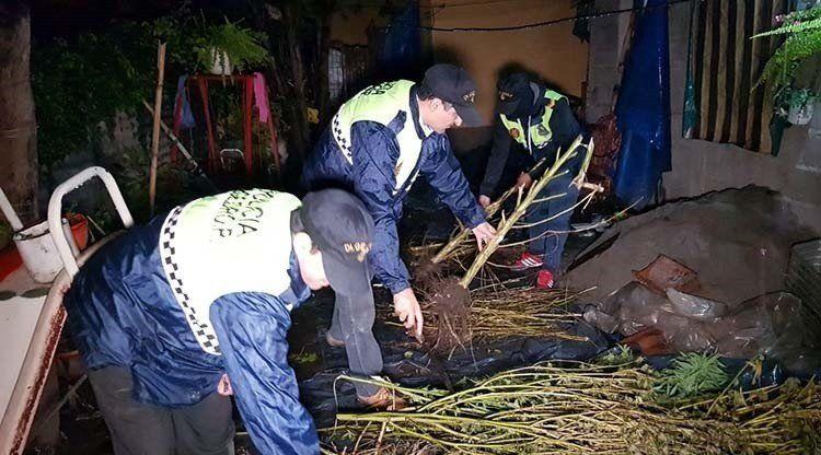 Incautaron siete plantas de marihuana en Aguilares