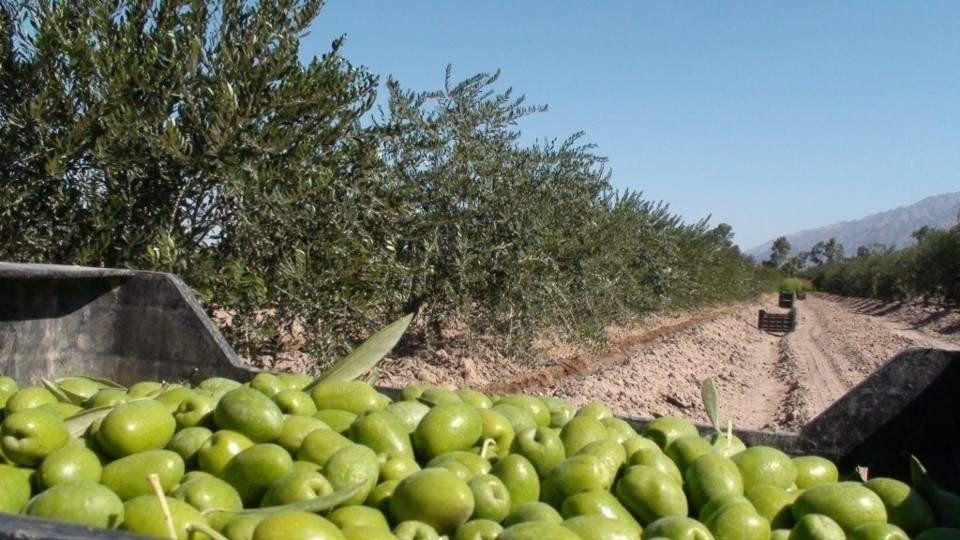 El cultivo de olivo en Catamarca sufrió pérdidas de más de u$s 15 millones
