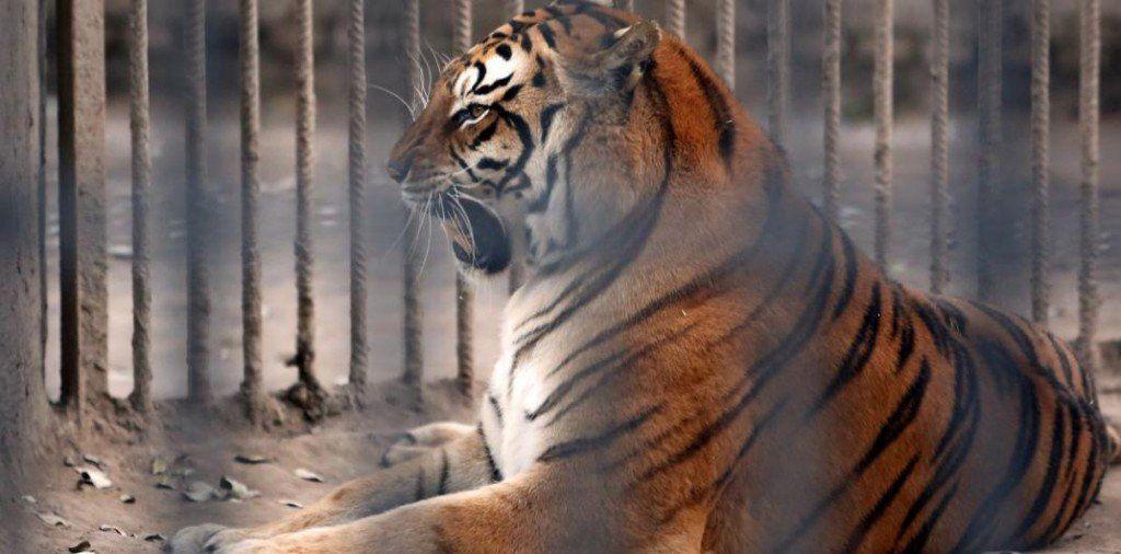 Trasladaron a Sudáfrica a un león y una tigresa de un ex zoológico santiagueño