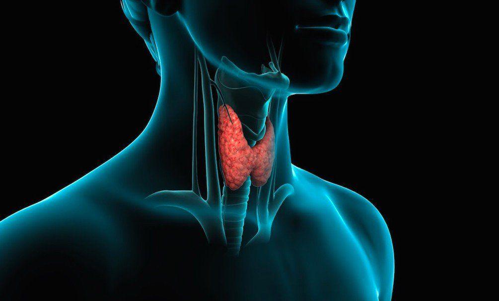 Tiroides: la glándula que regula las funciones metabólicas del organismo y su influencia en el peso