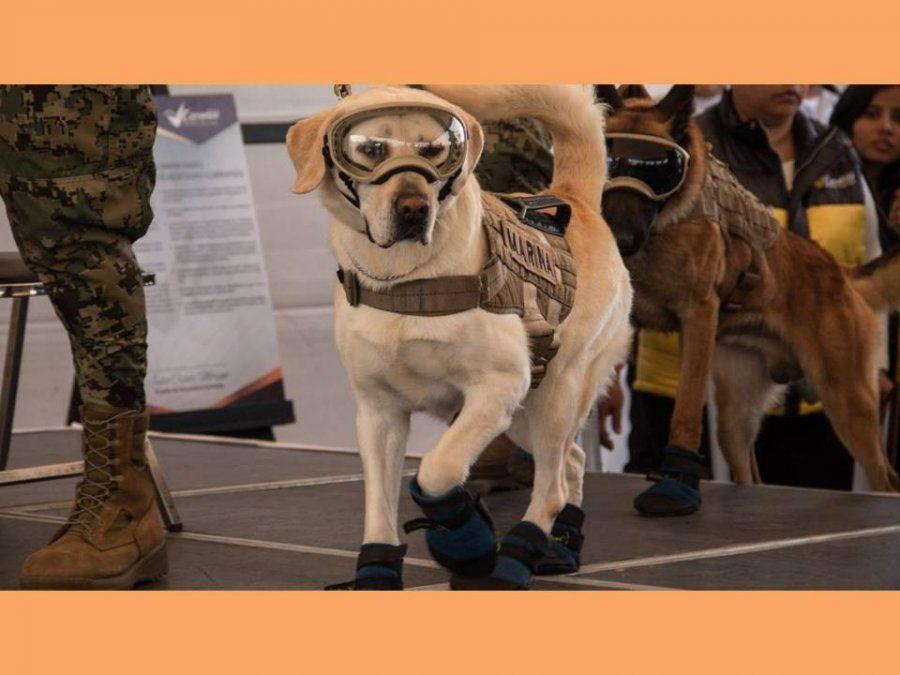 Frida, la famosa perra rescatista, se jubila tras 10 años de servicio en la Armada mexicana