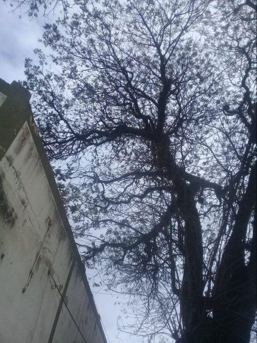 Alertan por un árbol que corre peligro de caer