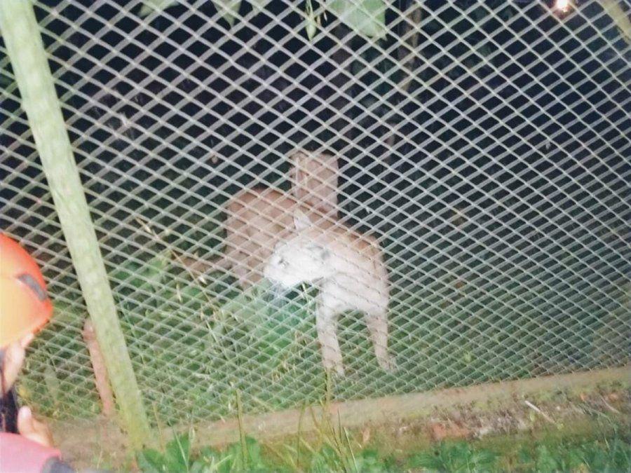 Un Puma apareció en una casa de Tafí Viejo