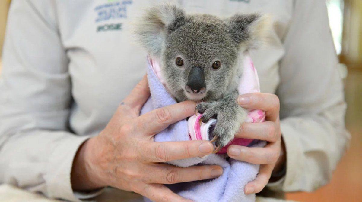 Murió el koala rescatado en un incendio