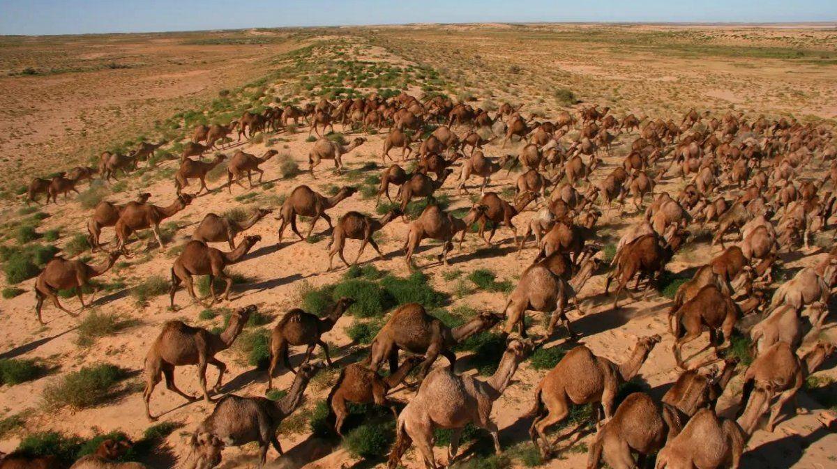 Australia tiene la mayor población de camellos del mundo.