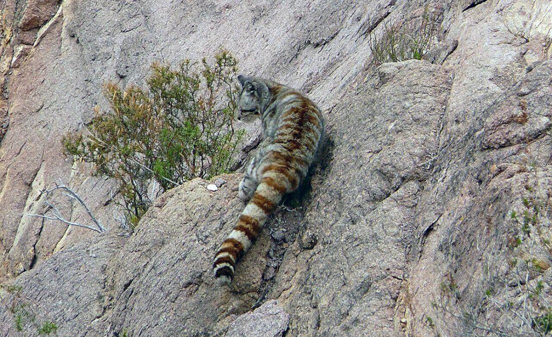 El gato andino suele habitar zonas montañosas.