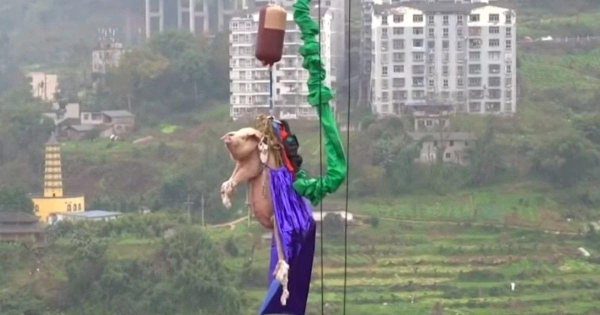 China: tiraron a un cerdo al vacío en un parque de diversiones