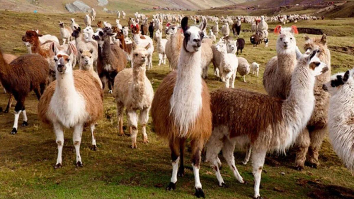 Investigan que las alpacas podrían neutralizar al coronavirus