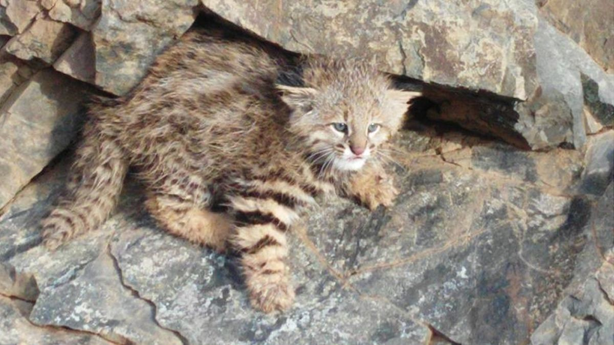 Reapareció en Mendoza un animal que está en peligro de extinción