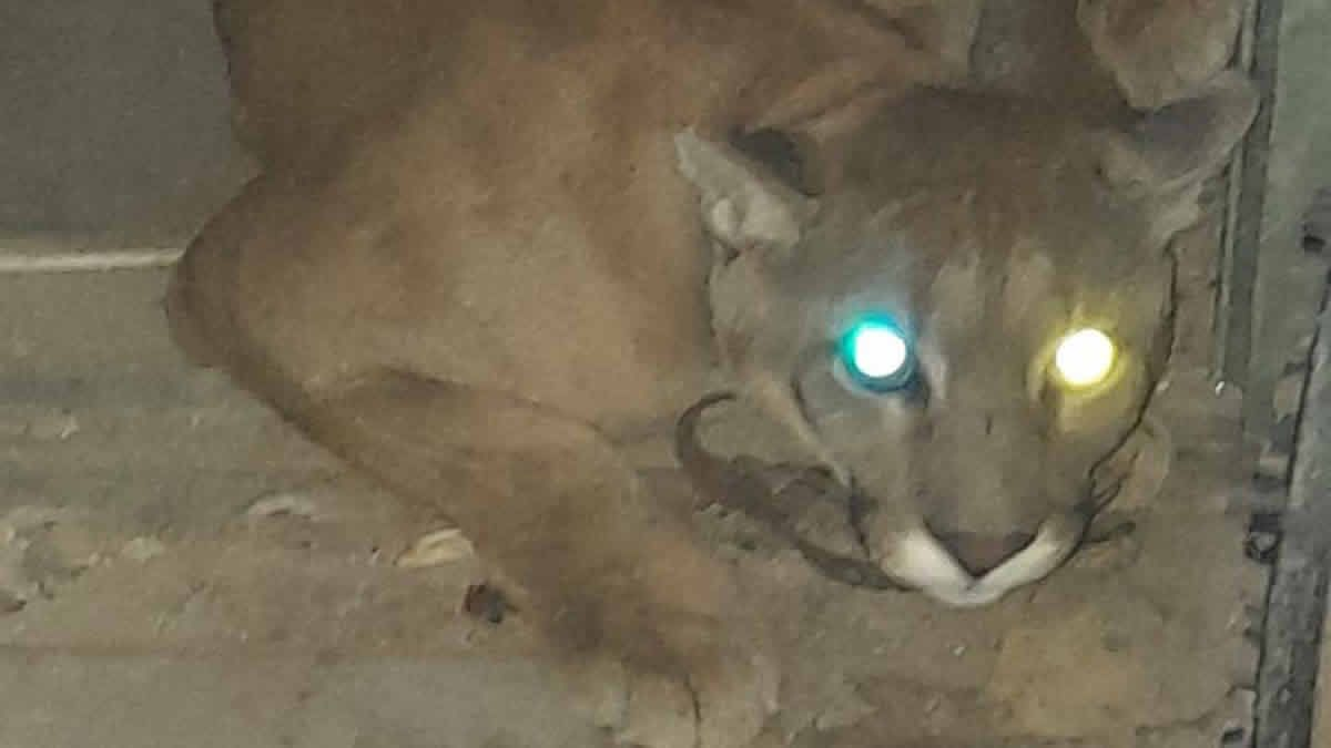 Un puma fue encontrado en un allanamiento