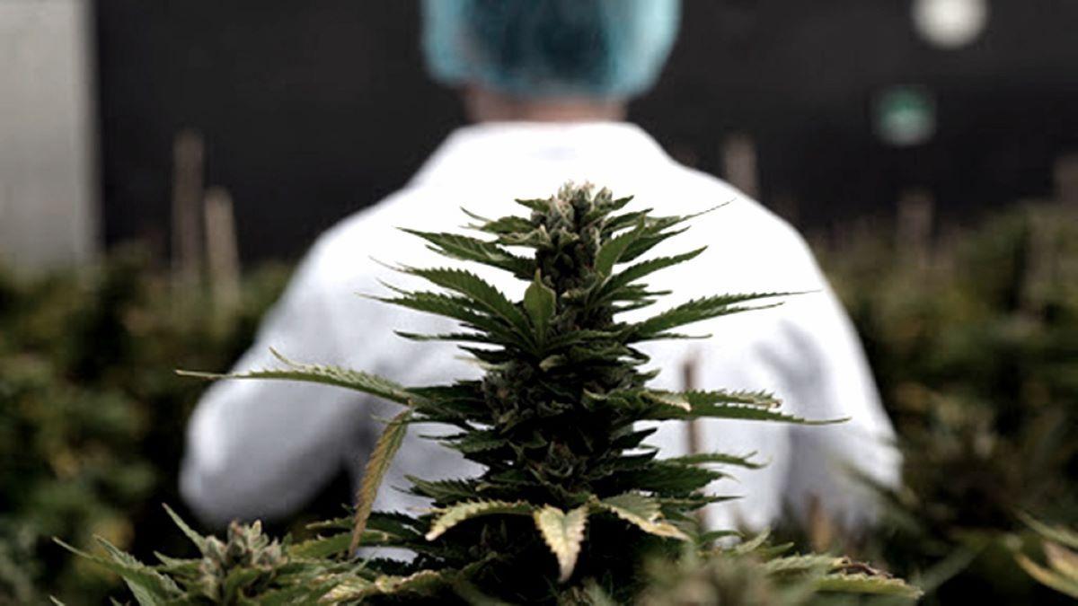 Entre Ríos aprobó la ley de acceso seguro al cannabis medicinal.