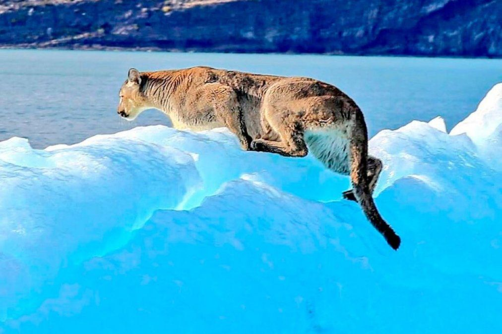 Increíble foto de un puma sobre un iceberg en Santa Cruz.