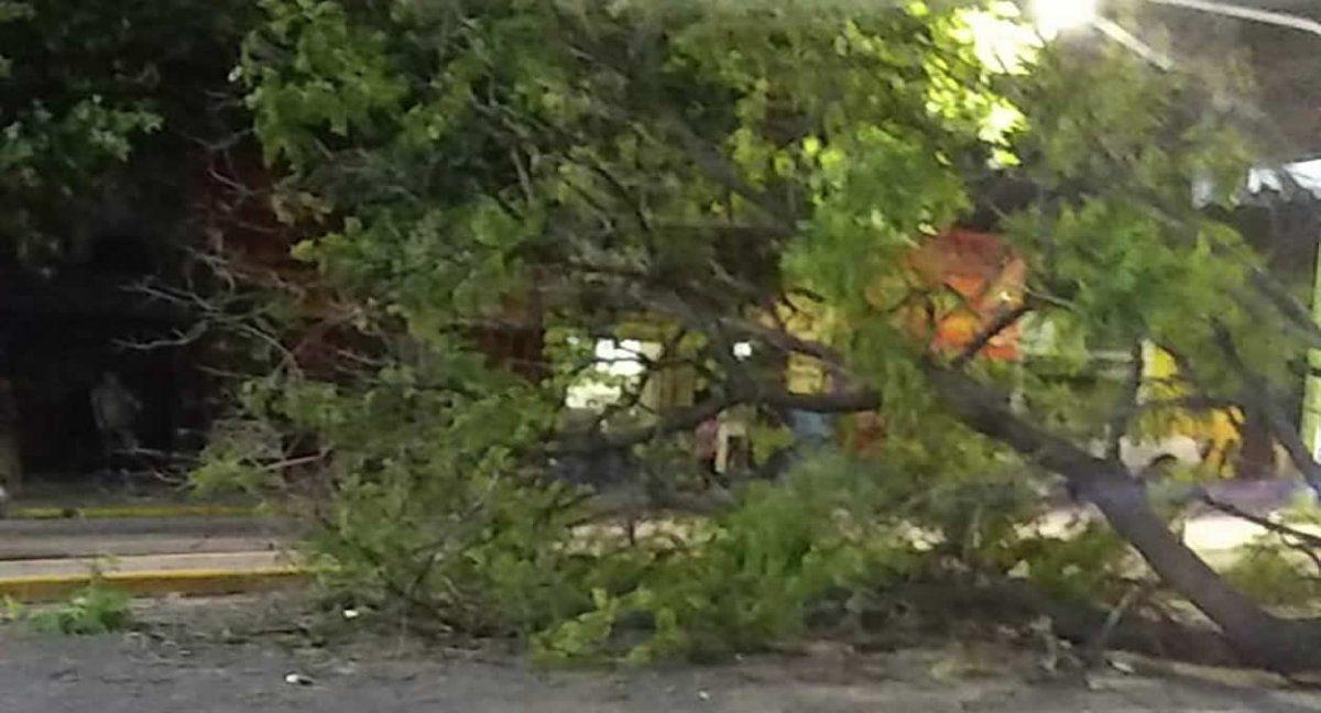 Cayó un árbol en Avenida Avellaneda primera cuadra